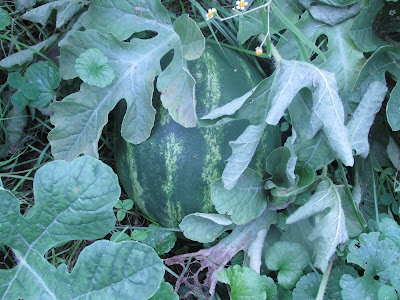 Watermelons growing in the Garden