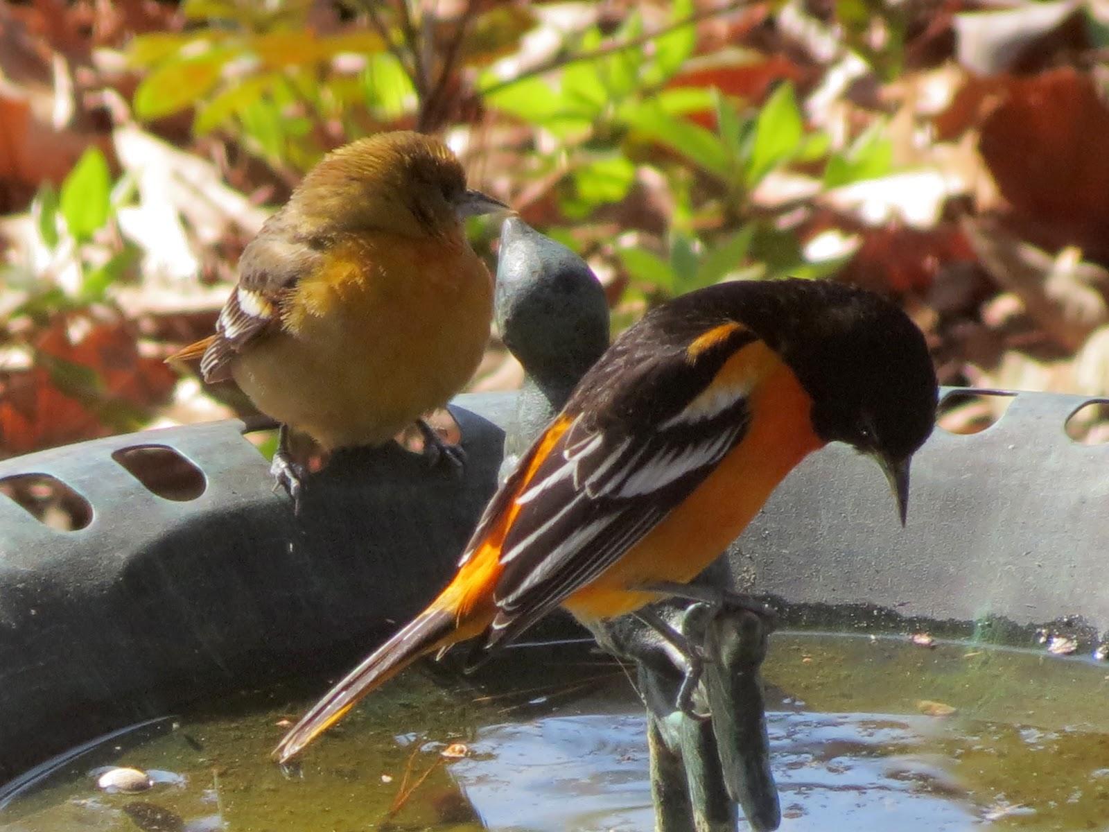 BirdsEyeViews: Winter 2013 Backyard Birds