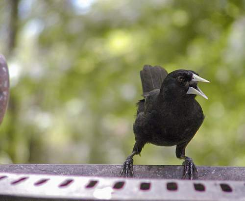 Bird World - Image of black cacique - Cacicus solitarius
