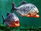 Ikan Viranha