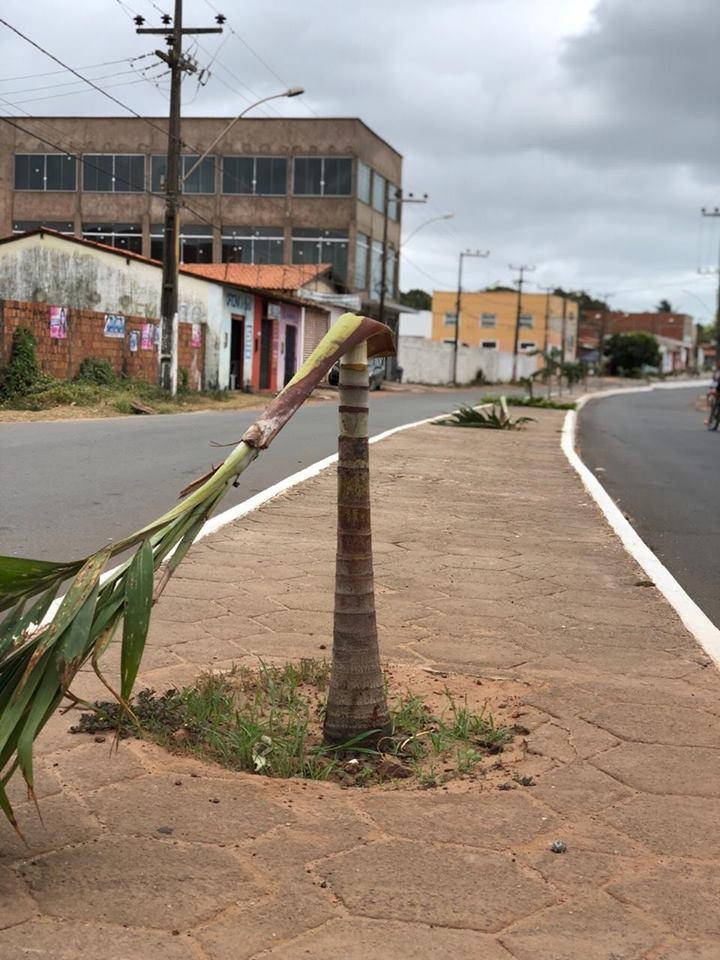 Raposa: Palmeiras plantado em Avenida do Pescador é destruído por vândalo