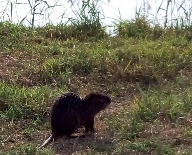 водяная крыса на озере Хула