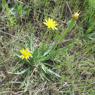 false dandelion, mountain dandelion Agroseris glauca