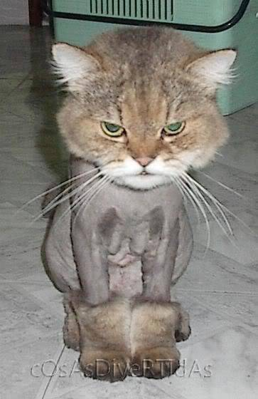 fotos de gatos persas afeitados como leones