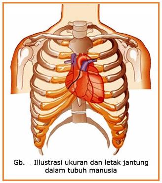individu: sistem peredaran darah pada manusia