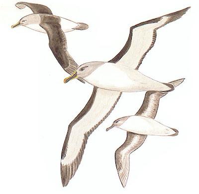 aves en extincion en Argentina Albatros cabeza gris Thalassarche chysostoma