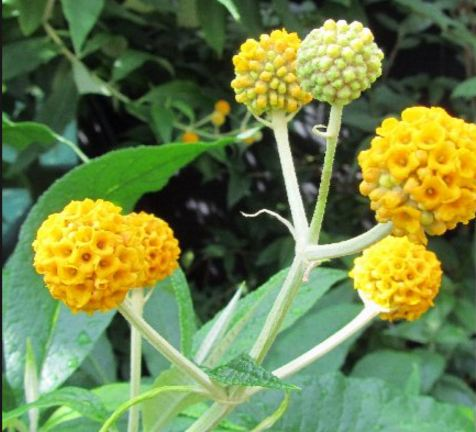 Buddleja Madagascariensis (Orange Buddleia)