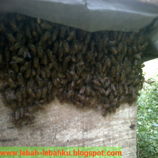 cara memancing lebah madu liar ke dalam kotak