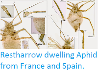 http://sciencythoughts.blogspot.co.uk/2015/04/restharrow-dwelling-aphid-from-france.html