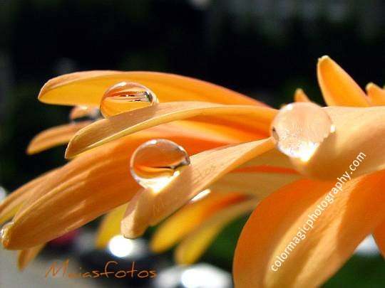 Raindrops on gerbera flower petals-macro