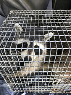 trapping a raccoon johnson county indiana