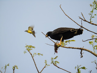 Tropical Kingbird harassing Black Hawk