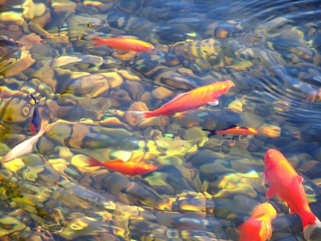 Dunia Ikan Hias - Ikan Air Tawar