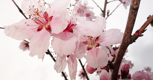Amazing nature! Today: the cherry blossoms!