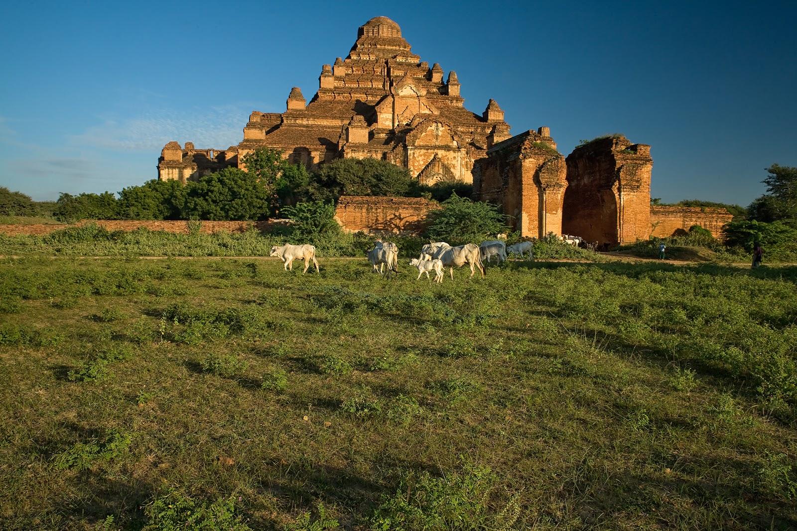 bagan,światynie,Birma,Bagan,bydło