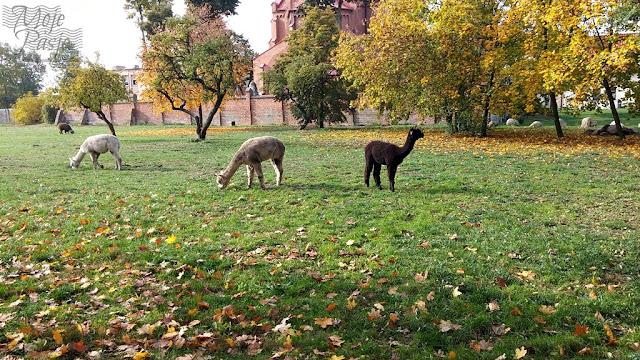 Alpaki z zaskoczenia.