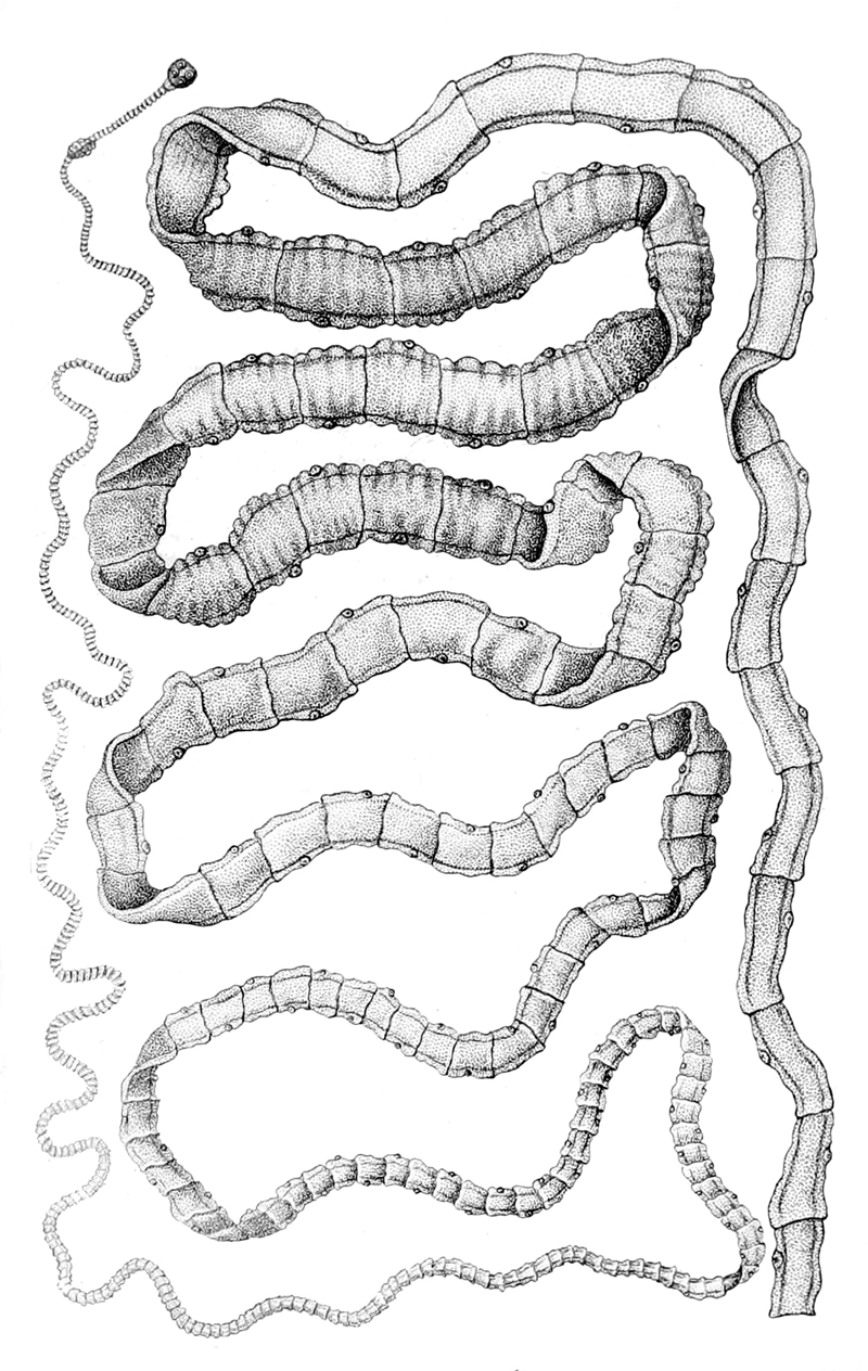 Infection Landscapes: Tapeworms