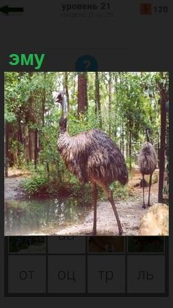 В лесу гуляет страус эму с длинной шеей на двух ногах
