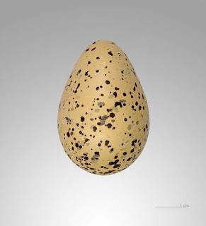 Charadrius hiaticula egg