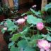 Vườn sen thơm mát sau 4 năm kỳ công của chủ nhà Hà Nội