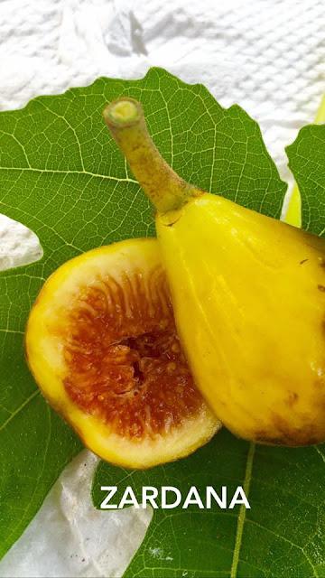 ZARDANA Figs
