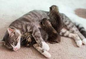 Tips Makanan Yang Baik Untuk Kucing Yang Sedang Menyusui