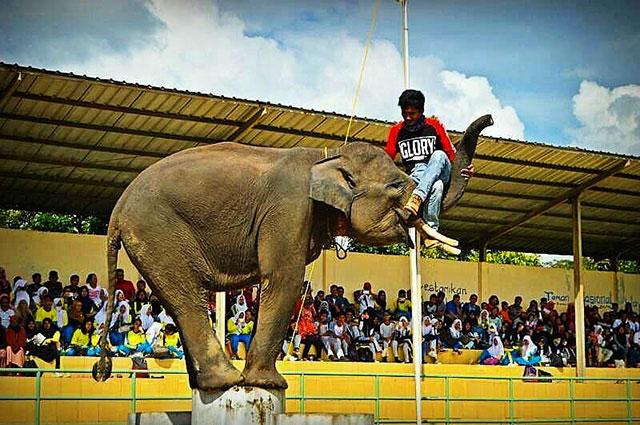 atraksi gajah di way kambas