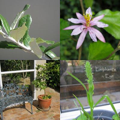 Brachylaena, Grewia lime tree, Corycium