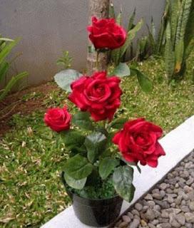 cara menanam bunga mawar dengan batang,cara menanam bunga melati,cara menanam bunga mawar dari biji,cara menanam bunga anggrek,cara menanam bunga kamboja,cara merawat bunga mawar,