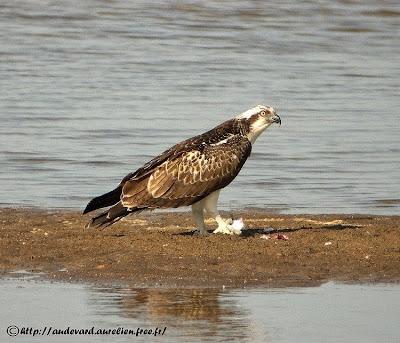 Águila pescadora Pandion haliaetus