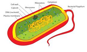 Peranan Bakteri yang Menguntungkan di Berbagai Bidang