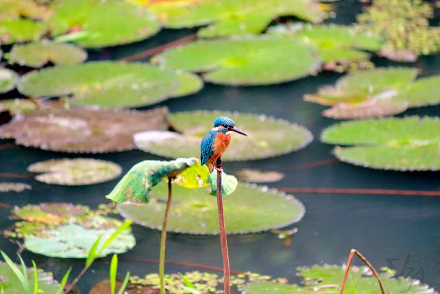 Common Kingfisher or the Eurasian Kingfisher