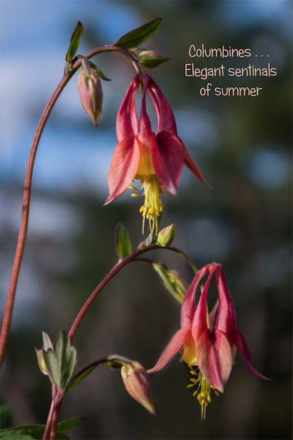 http://fineartamerica.com/featured/columbine-sentinals-tim-beebe.html