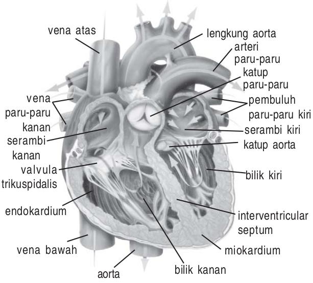 Penjelasan Mengenai Jantung Sebagai Alat Peredaran Darah