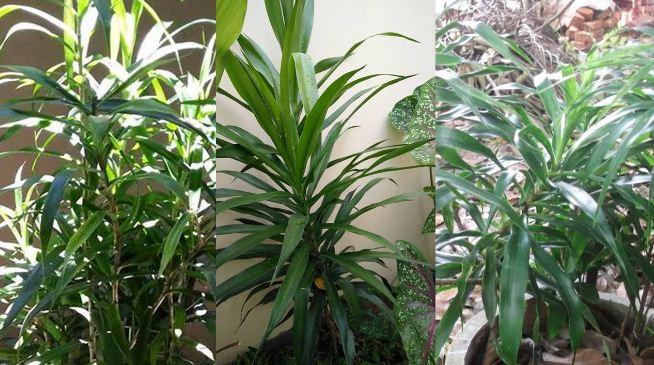 efek samping daun suji