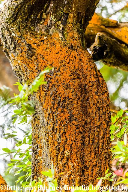 Orange Lichens on Tree at Kodaikanal
