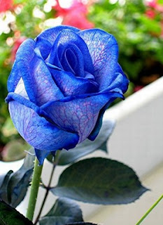 gambar bunga mawar indah 19