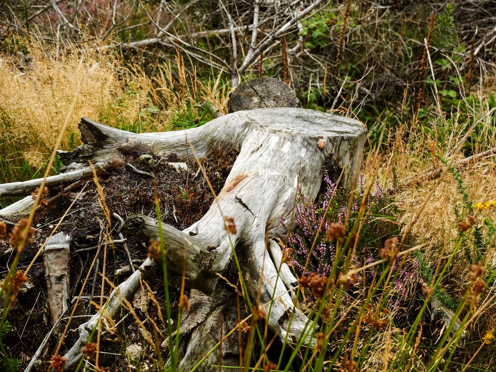 An old and grey tree stump in the Boggeragh Mountains in County Cork.