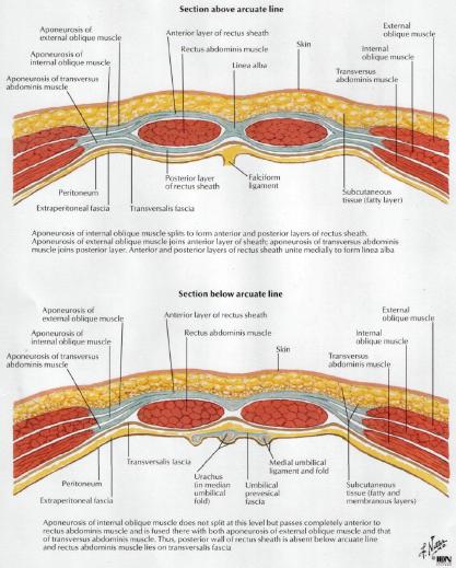 rectus sheath diagram | wiring diagram ebook rectus sheath diagram