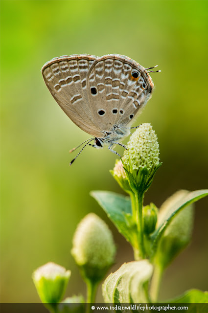 Plains Cupid, Chilades pandava , Butterfly, www.indianwildlifephotographer.com, indian wildlife photographer, indian wildlife, wildlife photographer