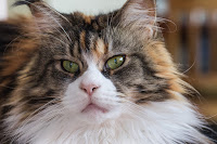 Maine Coon cat character
