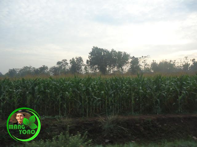 Ini kebun jagung Hibrida.