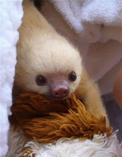 Keeping and Caring for Sloths as Pets