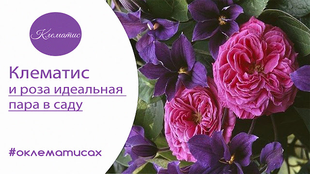 розы +и клематисы вместе