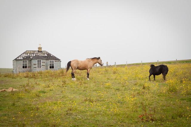 Cavalli vicino Mull head