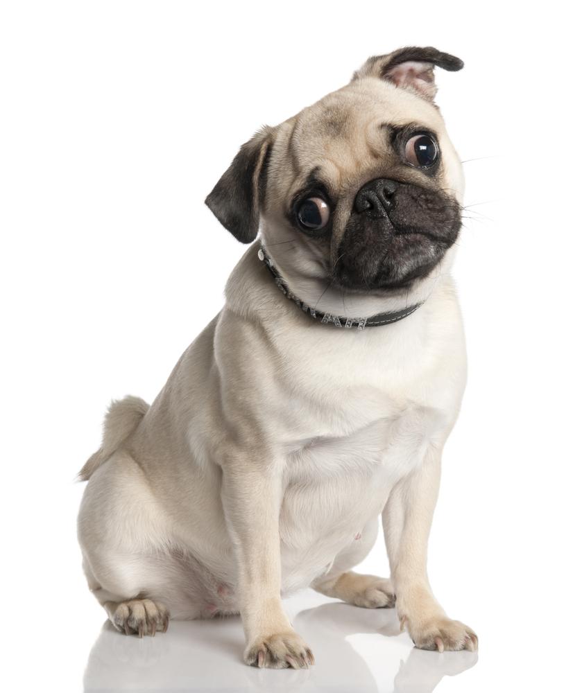 All About Dogz.....: Pug