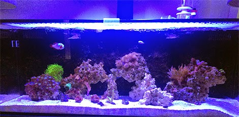 Species Specific Aquarium Build Clownfish And Bubble Tip Anemone Tank Marine Depot Blog