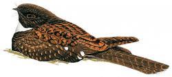 Nyctiphrynus rosenbergi