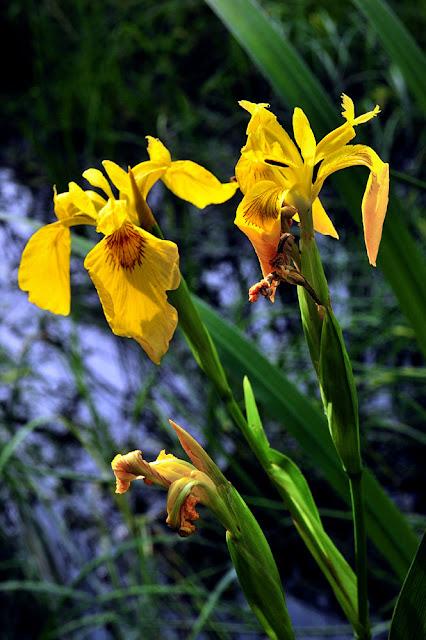 iris des marais, iris pseudocarust