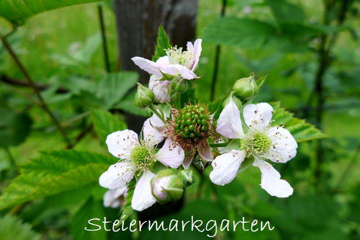 Brombeeren-Steiermarkgarten